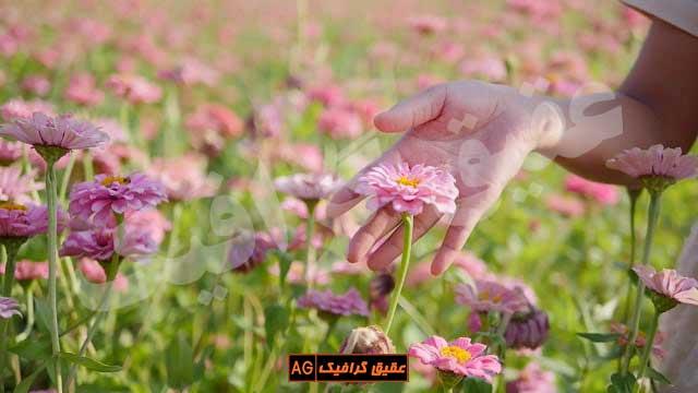 ویدیو فوتیج قدم زدن زن میان گلها