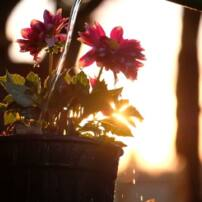 ویدیو فوتیج آب دادن به گل