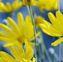 ویدیو فوتیج بارش باران روی گل های آفتابگردان