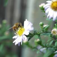 ویدیو فوتیج زنبور عسل روی گل