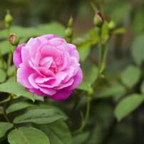 ویدیو فوتیج شکوفه های گل رز در باغ