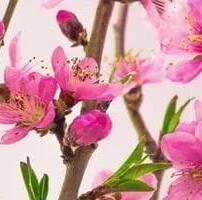 ویدیو فوتیج شکوفه گل درخت گیلاس صورتی