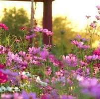 ویدیو فوتیج گل های کیهانی در باغ
